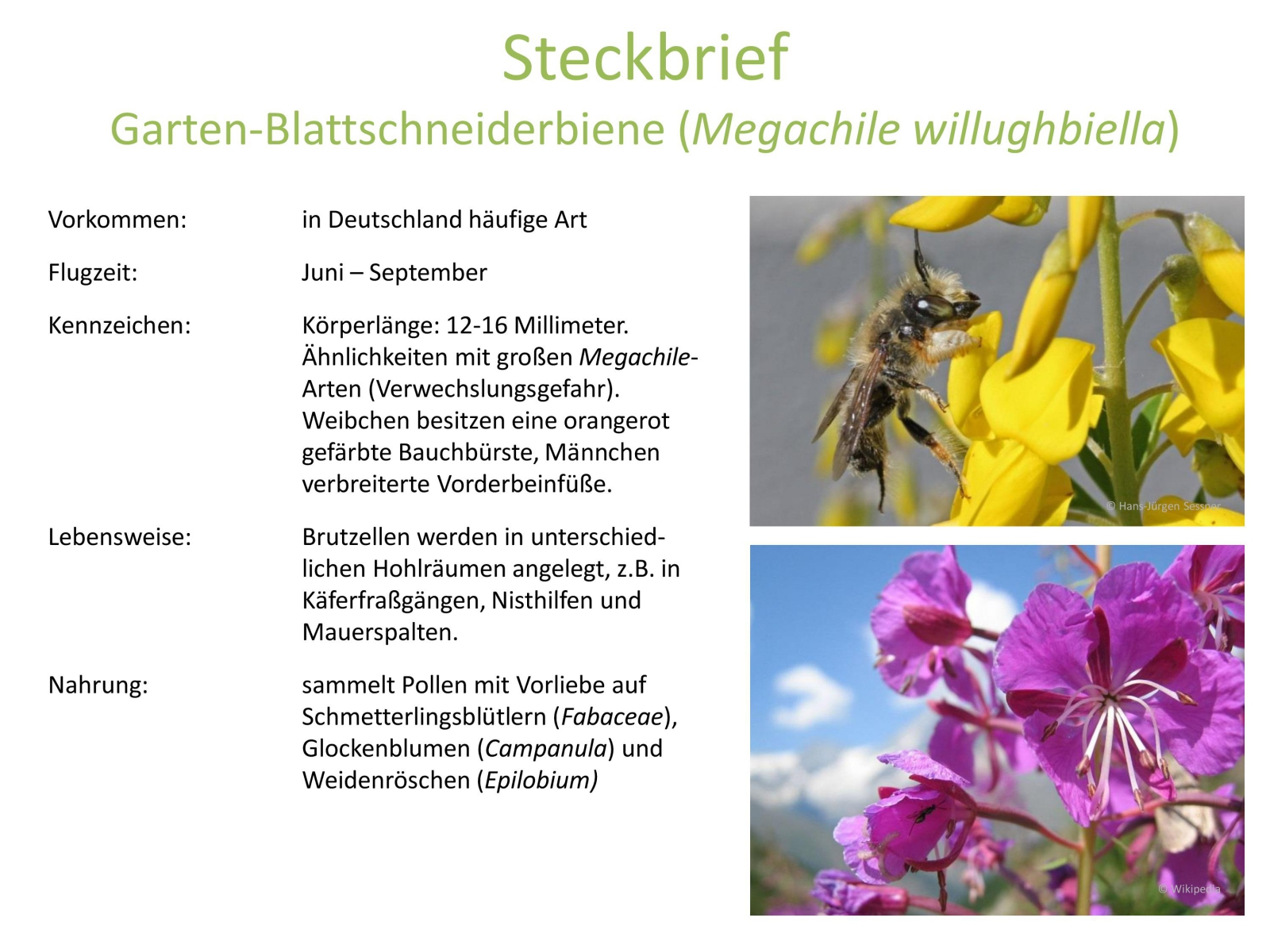 wildbienen_steckbrief_1.jpg