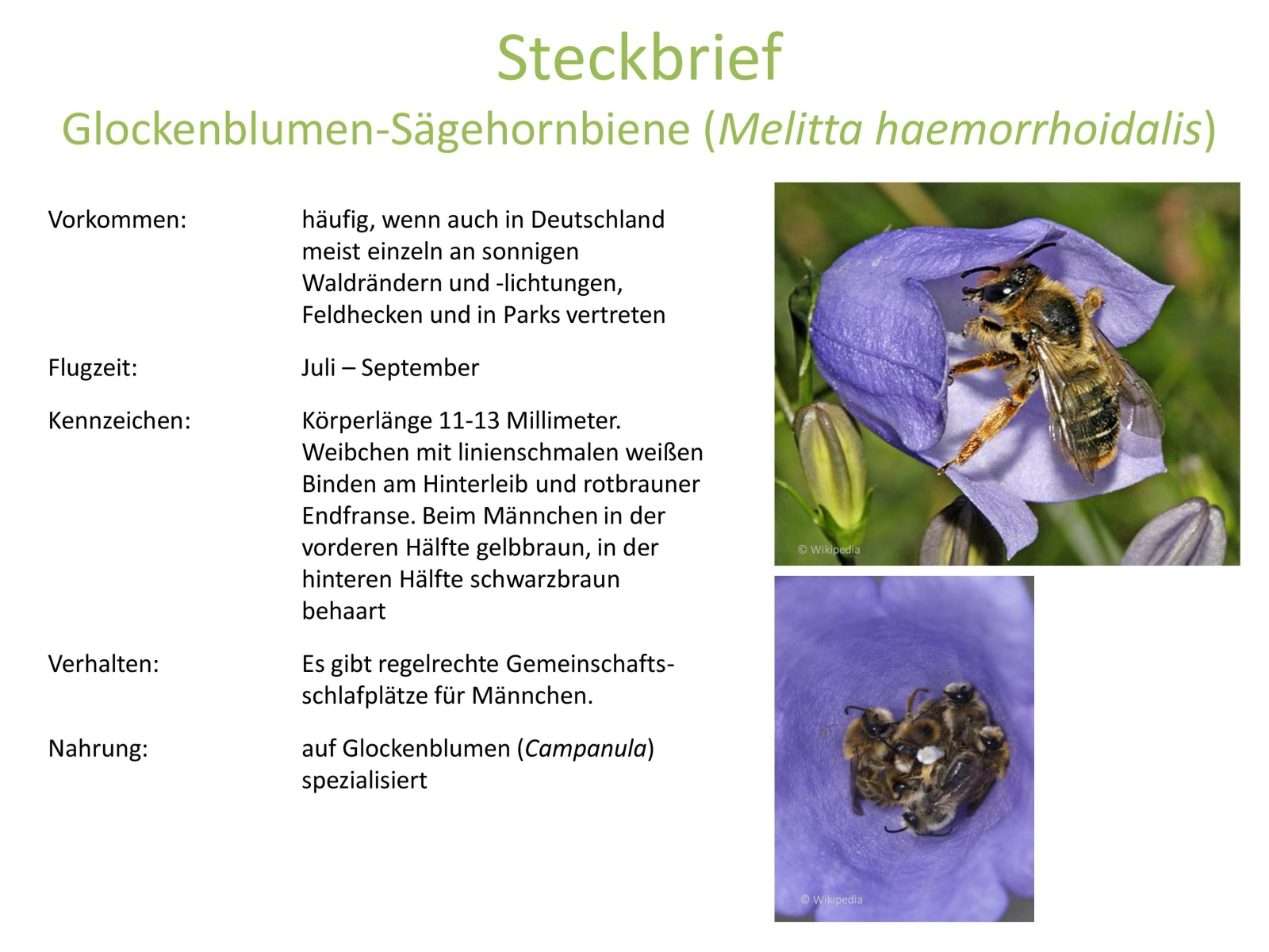 wildbienen_steckbrief_2.jpg