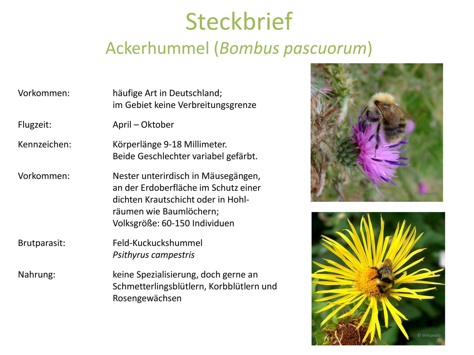 wildbienen_steckbrief_3.jpg